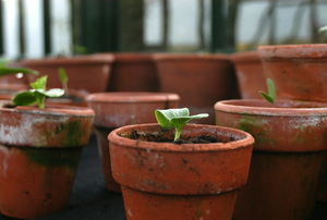 A group of terra cotta pots with new sprouts growing in them.