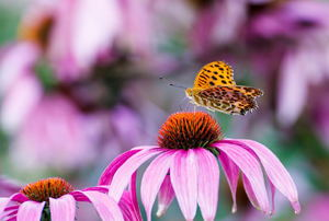 A coneflower with an orange butterfly on it.