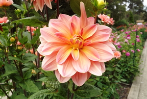 A dahlia in bloom.
