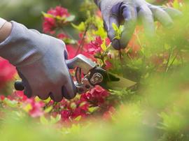 Pruning a Begonia