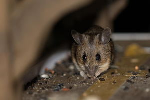 How to Eliminate Mice From Your Home's Ductwork