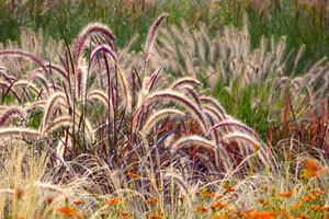 Ornamental Grasses to Grace Your Yard This Fall