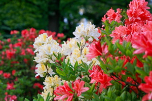 Preparing Your Azaleas for The Winter