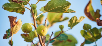 Propagate A Fig Tree From Cutting