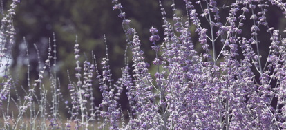 The Dangers of Growing Russian Sage | DoItYourself com