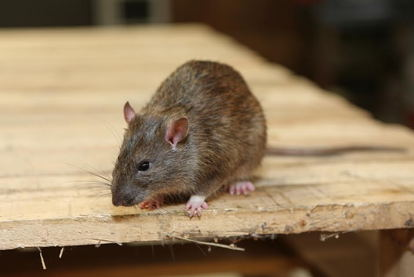 4 Ways to Properly Dispose of Rat Poison | DoItYourself com