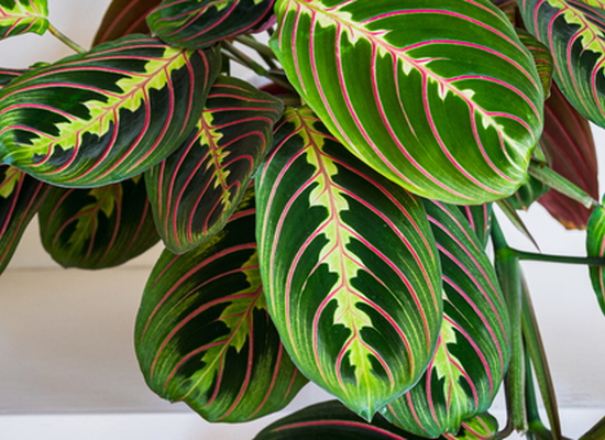 maranta prayer plant with green leaves that have large red lines