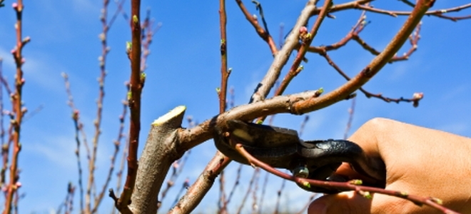 Pruning Your Plum Tree Tips And Instructions