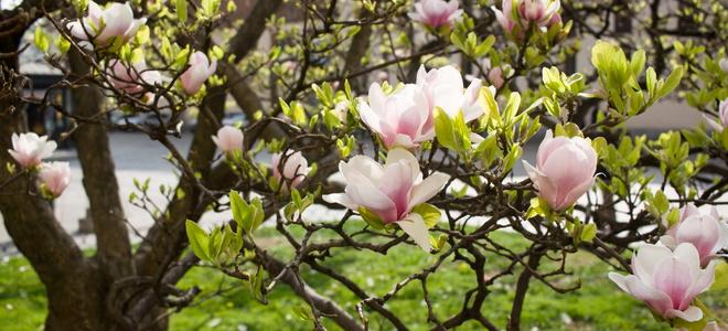 Transplanting A Magnolia Tree Doityourself Com