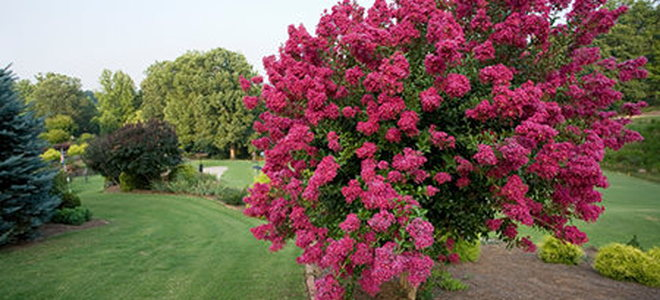 Guide to Planting Crepe Myrtle DoItYourselfcom