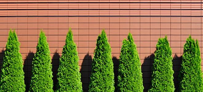 How to Prune an Arborvitae | DoItYourself.com