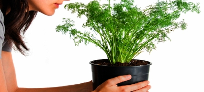Growing Dill Indoors In 5 Steps Doityourself Com