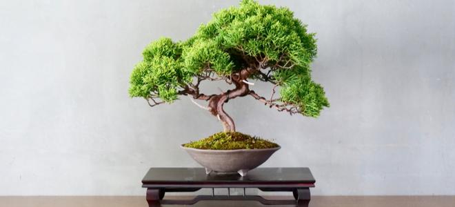 Beautiful small bonsai tree against gray wall