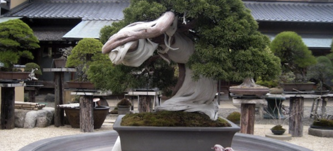 One of the oldest bonsai trees in the world