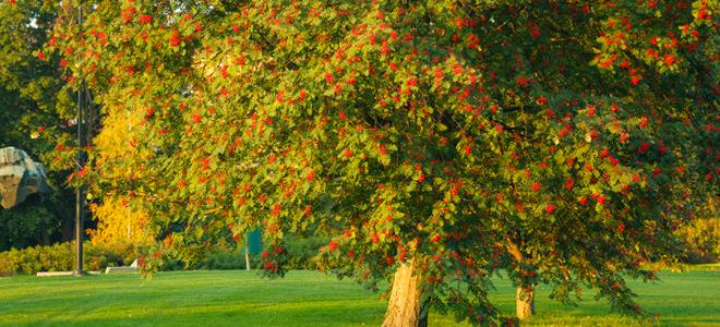 How To Prune A Maple Tree Doityourself Com