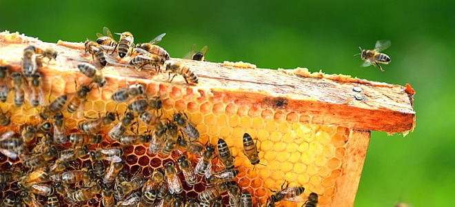 Backyard Beekeeping Has Become Enormously Popular In Recent Years.  Apiculture, As The Practice Of Raising Bees Is Known, Is An Intriguing  Blend Of Gardening ...