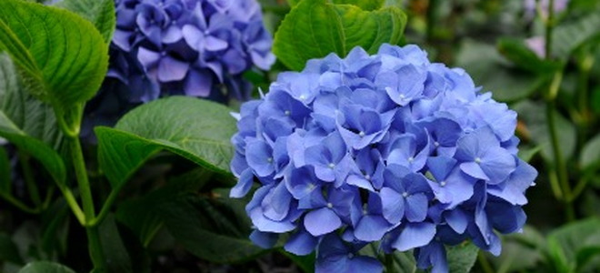 Why Aren T My Hydrangeas Blue