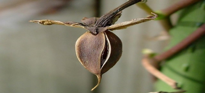 Collecting Moonflower Seeds For Next Season