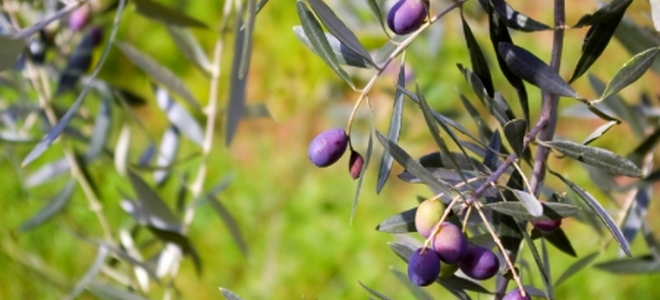 Olive Tree Care And Maintenance