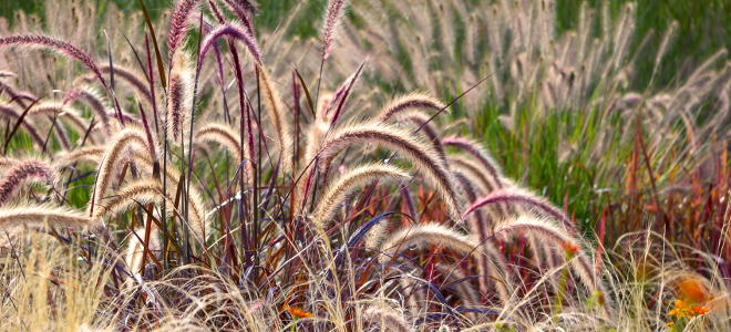 Ornamental grasses to grace your yard this fall for Ornamental lawn grass
