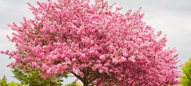 Redbud Tree Propagation Instructions Doityourself Com