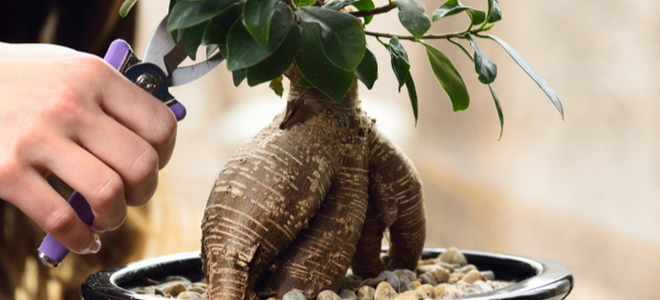 Money Tree Bonsai getting trimmed