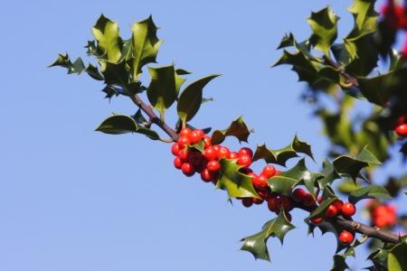 How To Prune A Holly Tree Doityourself Com