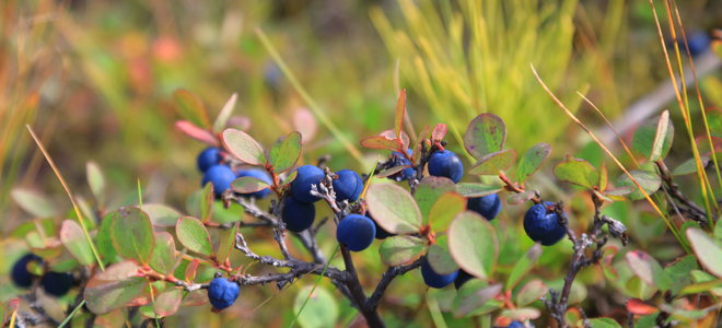 A blueberry plant with red-tones leaves.