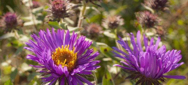 Purple Russian sage flowers.