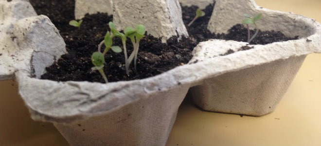 Seedlings in an eggshell carton.