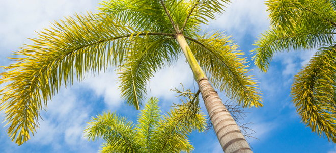 Palm tree 101 doityourself the royal palm has a smooth trunk and can grow up to 80 feet high it produces bright green leaves and white flowers it need warm temperatures and direct mightylinksfo