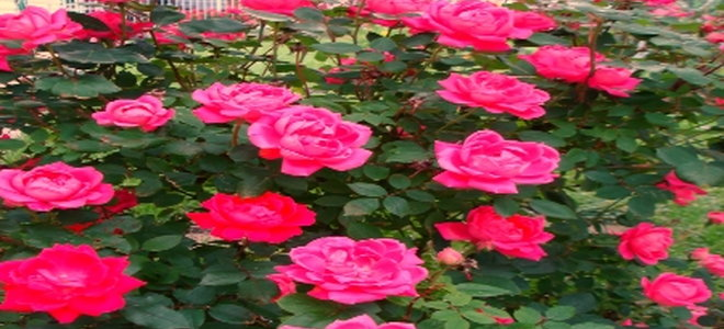 Prune Your Knockout Rose For A Fuller Shape Doityourself Com