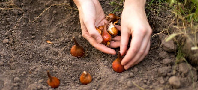 Planting bulbs in soil.