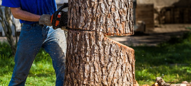 man using chainsaw to create a backcut in a tree trunk for removal