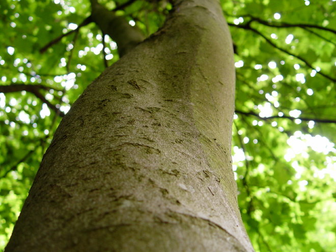 Sycamore Tree Pruning Tips Doityourself