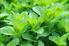 A close-up of fresh green mint in a garden.