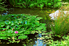 Large backyard pond with a lotus flower