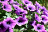 a bush of flowering purple petunias in the sun
