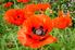 orange poppy flowers in a field