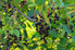 hackberry tree with dark berries and green leaves