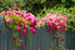 Pink roses climbing over a fence.