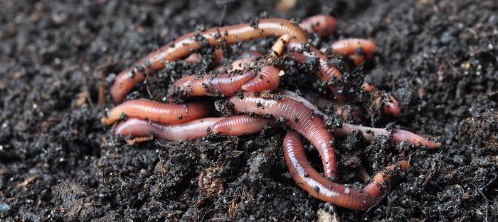 Earthworms in Soil