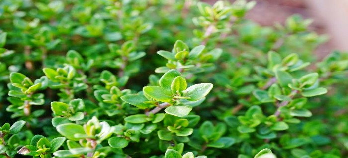 Close up of thyme plants