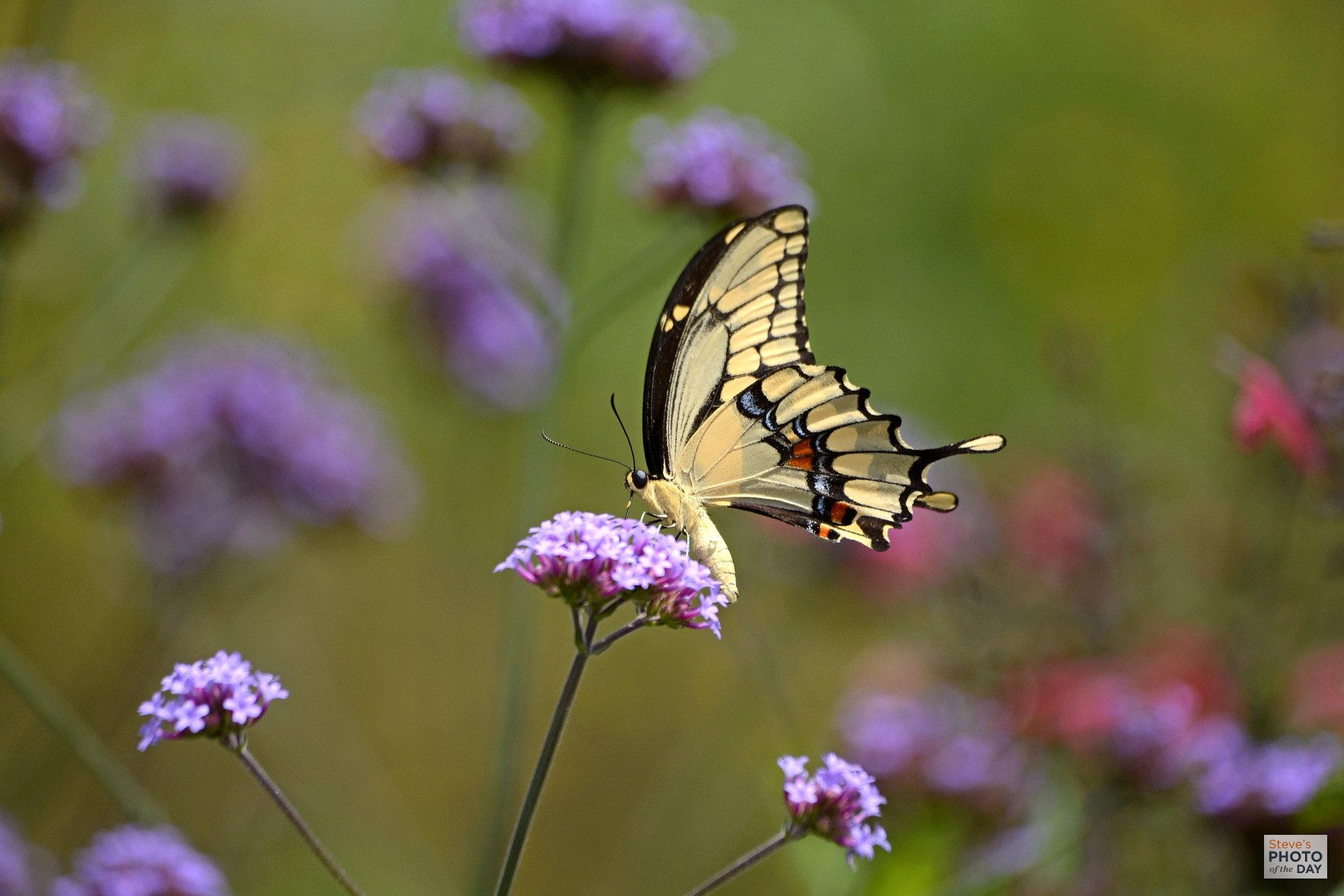 Swallowtail On Tall Verbenas