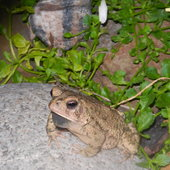 One of the little toads that sing around my pond.