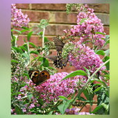 Softness of Buddleja enjoyed by a Common Buckeye and a Swallowtail ..
