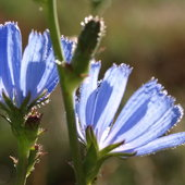 Chicory in the meadow