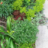 From the bottom: Sedum \'Angelina\', daylily leaves to it\'s left, above it, a mini white chrysanthemum full of buds, a bronze Aeonium, a favorite chartreuse euphorbia, Ajuga reptans \'Variegata\' along the rocks.