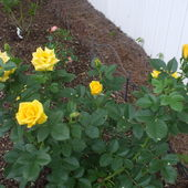 Shock Wave floribunda roses in new rose bed - 2017