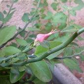 Euphorbia tithymaloides